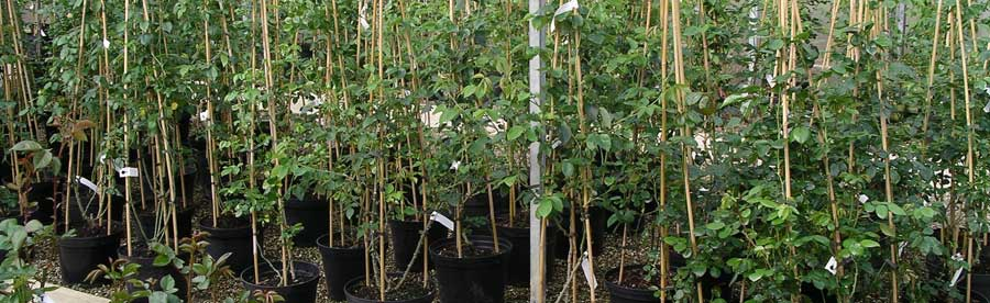 We stock a large range of well established mature Shrubs at our nursery in Dedham, Essex